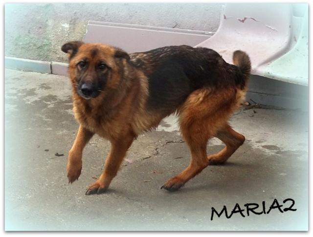 MARIA2, F type Berger Allemand, taille moyenne, née ??? (PIATRA/PENSION)  réservée SPA PONTARLIER - Page 2 Maria015