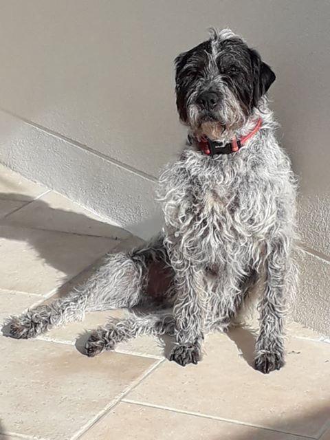 LILI - x griffon 8 ans blanc moucheté/noir- Refuge de la Picoterie à Crogis (02) Lili1010