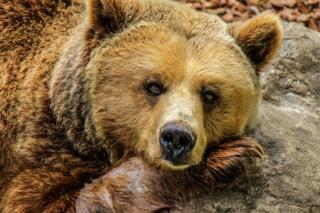Attracta ou l'oursonne empailleuse (fiche en cours) Bear-810