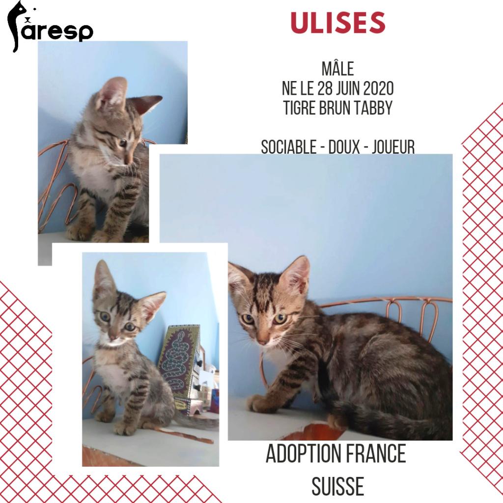 ULISES - TIGRE BRUN TABBY (MARILO)  20200918