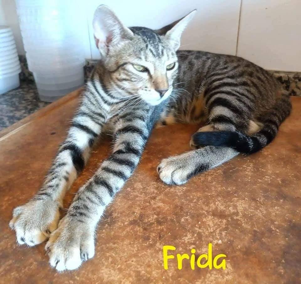 FRIDA- TIGREE (ARCA)  Recei109