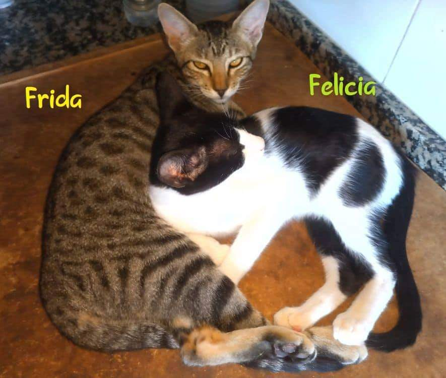 FRIDA- TIGREE (ARCA)  Recei112
