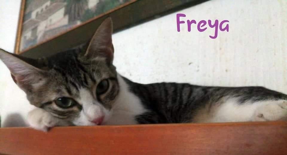 FREYA- TIGREE ET BLANCHE (ARCA)  Recei126