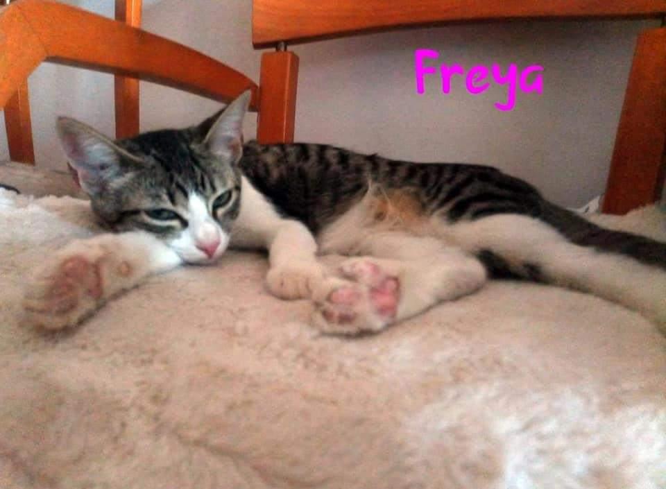 FREYA- TIGREE ET BLANCHE (ARCA)  Recei127