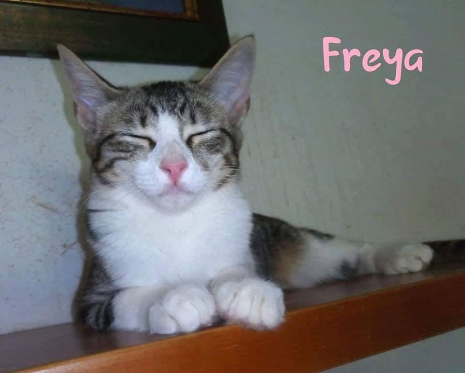 FREYA- TIGREE ET BLANCHE (ARCA)  Recei128