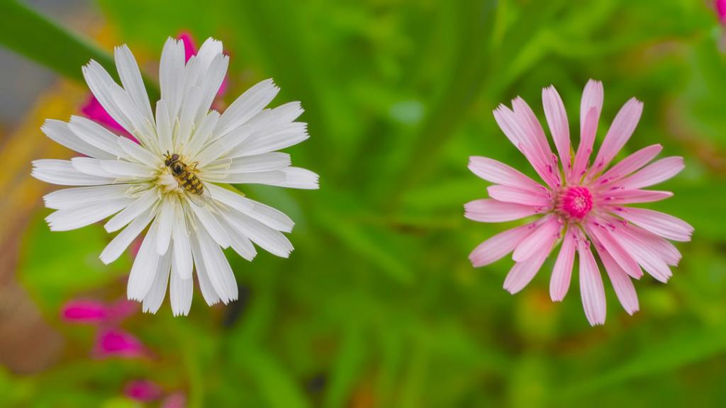 des crepis pas maiuvaise herbe et autre annuelle Crepis10