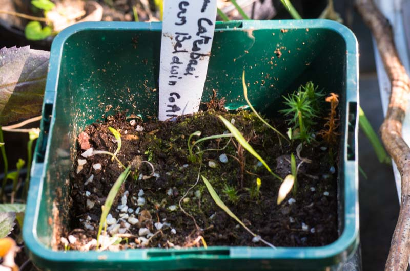 les semis de Lilium catesbaei Lilium11