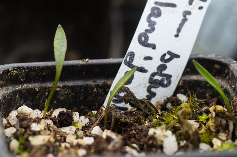 les semis de Lilium catesbaei Lilium12