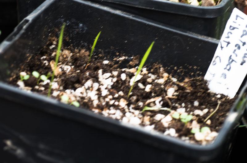 les semis de Lilium catesbaei Lilium13