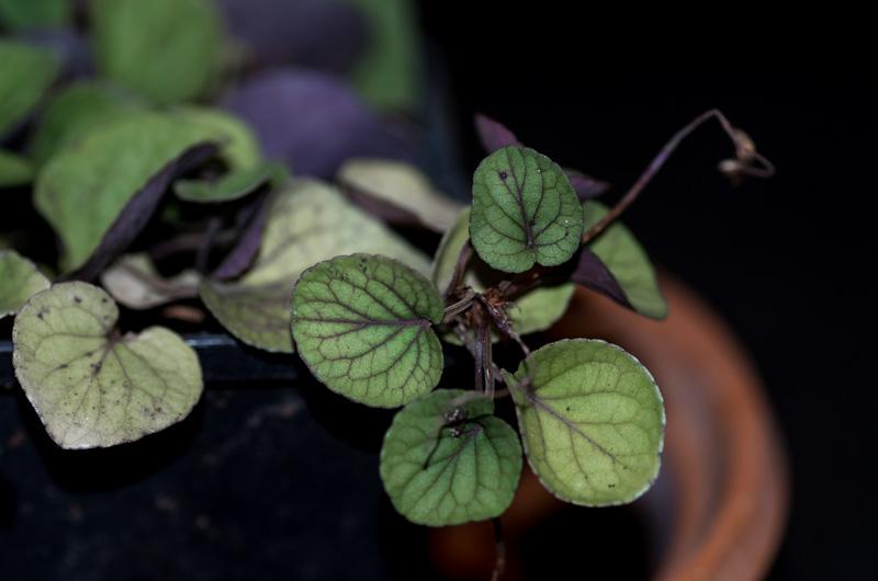 violettes - Page 2 Viola_12