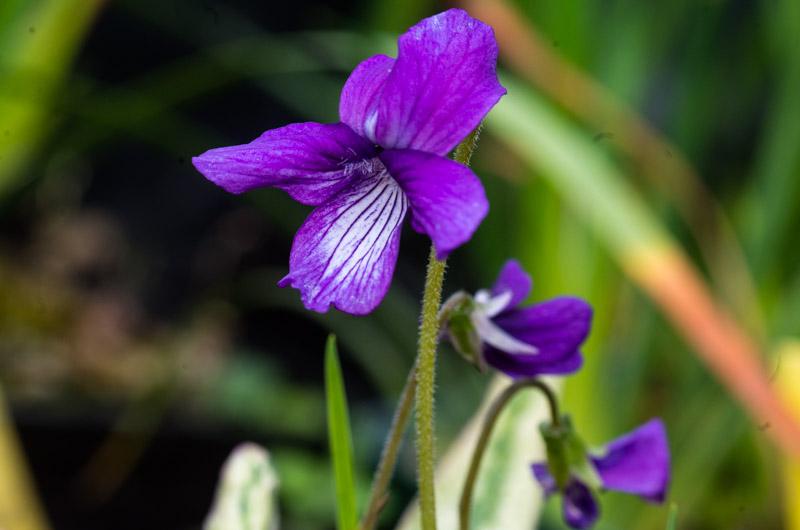 un petit tour chez mes violettes Viola_16