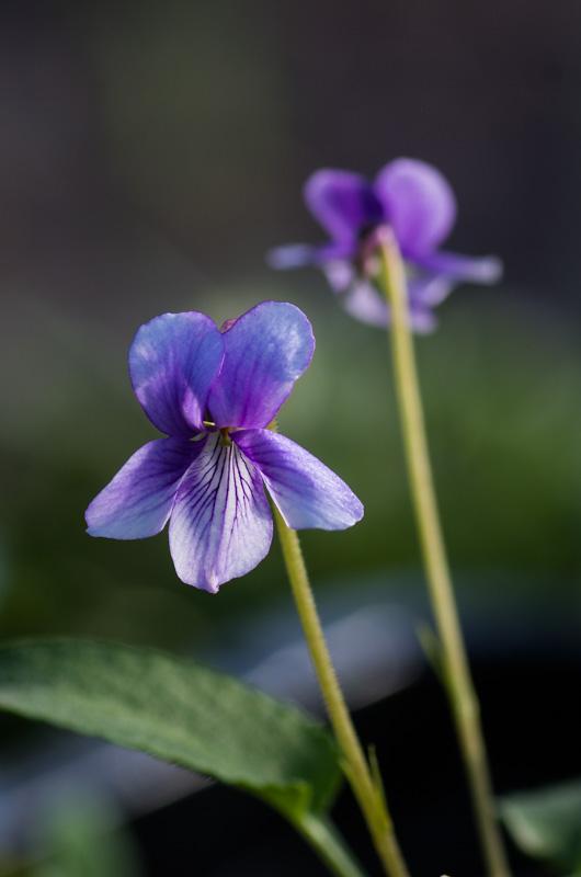 un petit tour chez mes violettes Viola_18