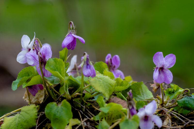 un petit tour chez mes violettes Viola_19