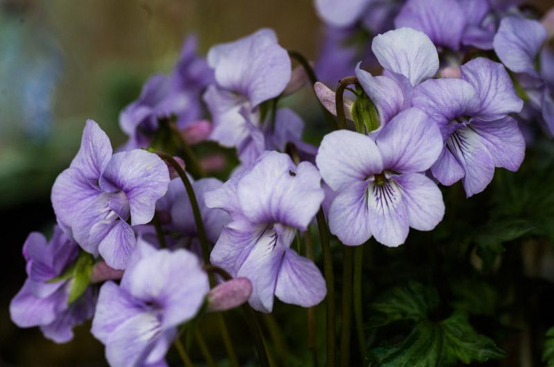 un petit tour chez mes violettes Viola_21