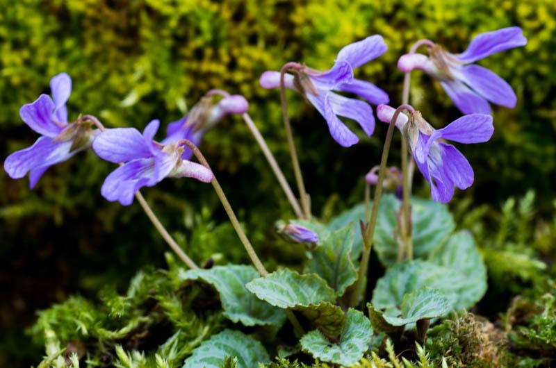 un petit tour chez mes violettes Viola_24