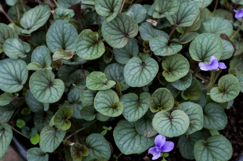 un petit tour chez mes violettes Viola_25