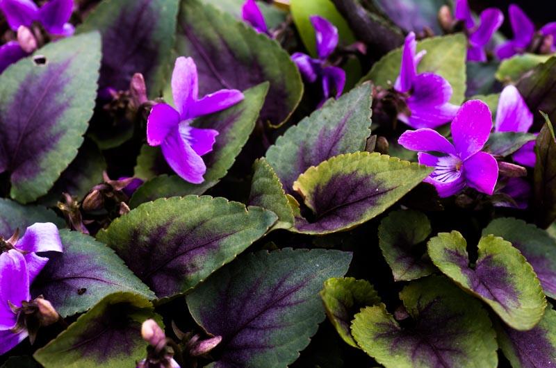 un petit tour chez mes violettes Viola_26