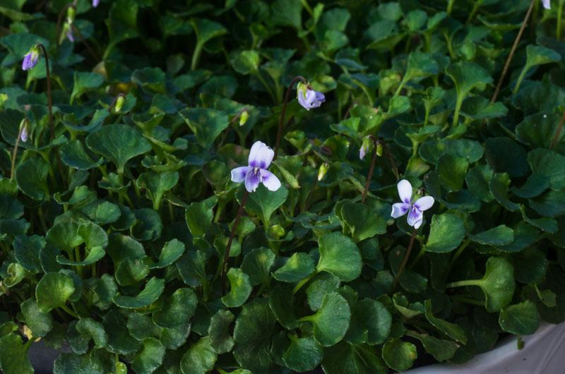 violettes - Page 2 Viola_30