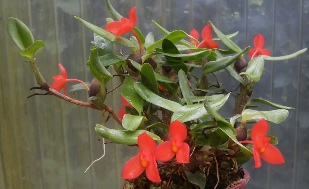 Maxillaria sophronitis  Maxili10