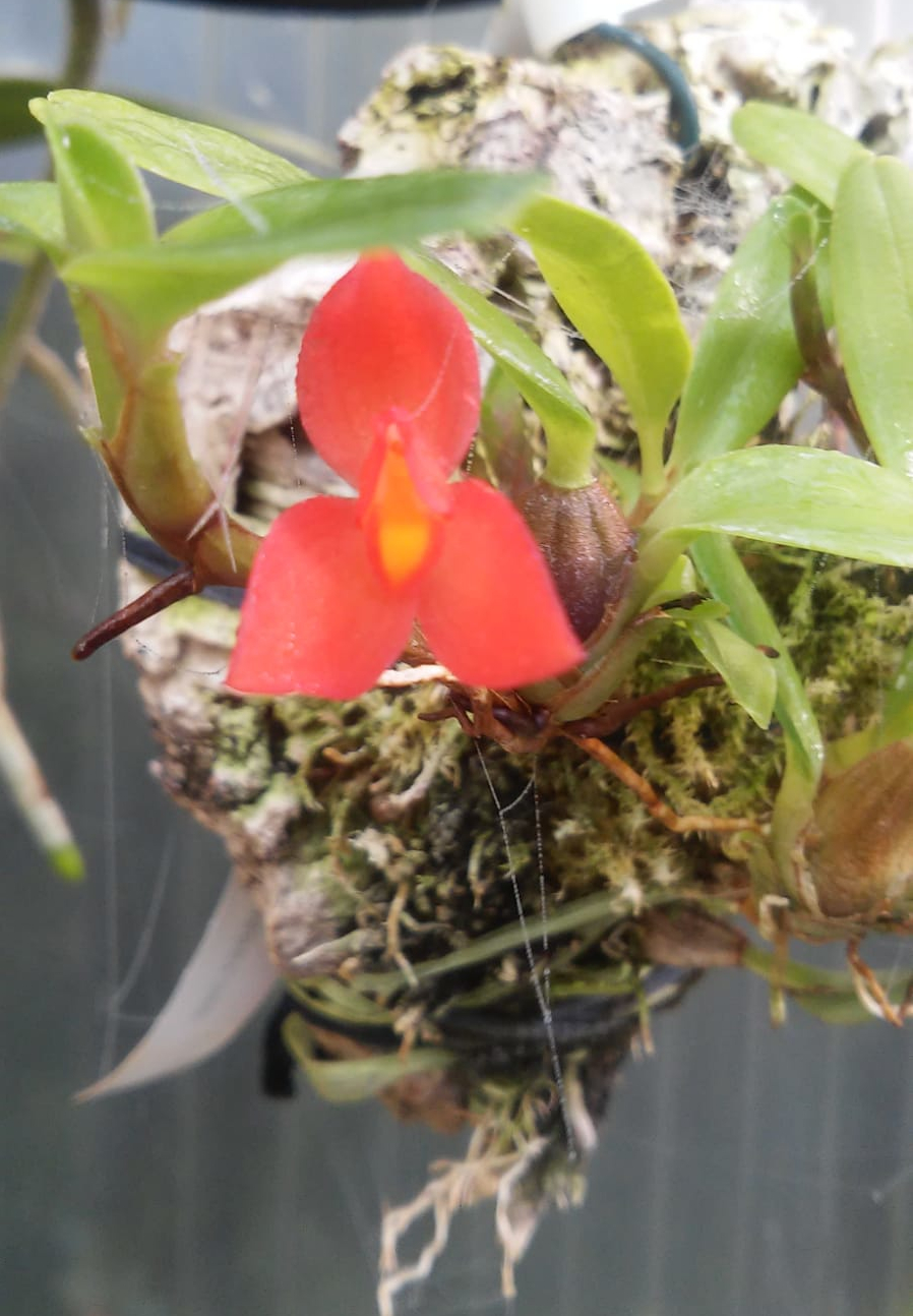 Maxillaria sophronitis  Maxili11