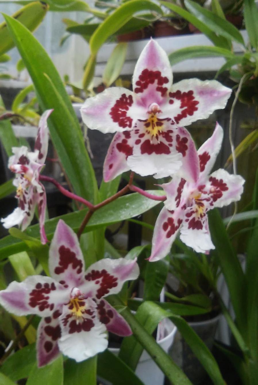 Odontoglossum Nippon Odonto10