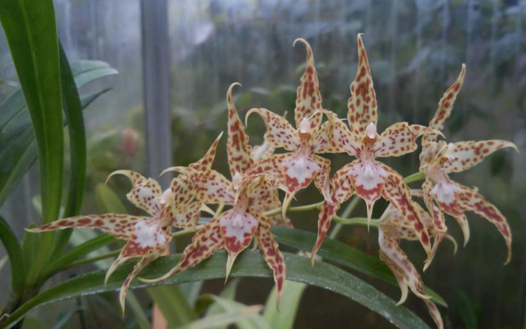 Odontoglossum praestans Odonto11