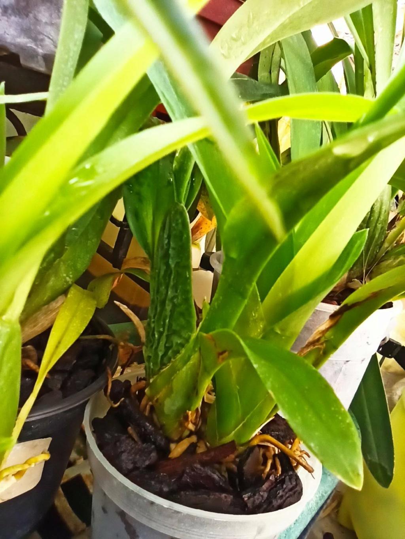 Odontoglossum harryanum und Odontoglossum wyattianum - Seite 3 Signal24