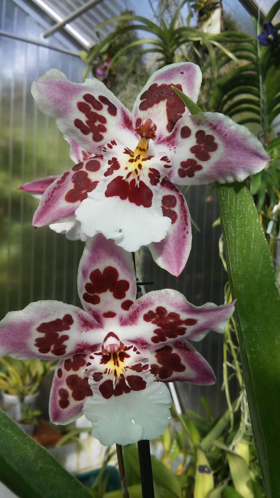 Odontoglossum Nippon Whatsa23