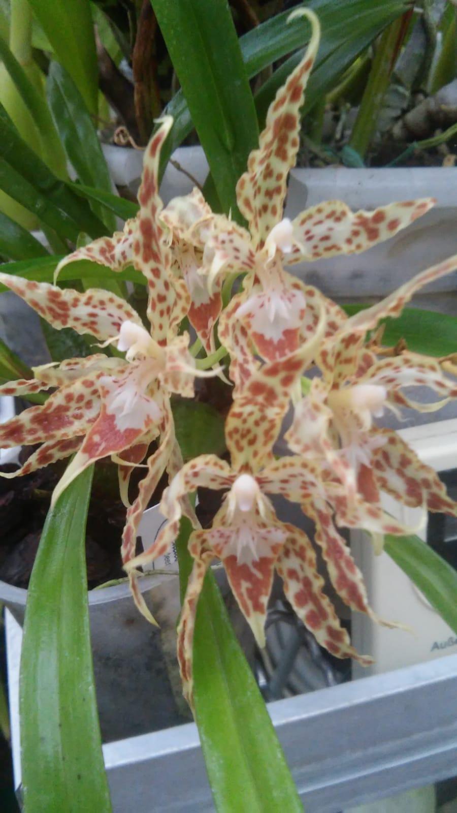 Odontoglossum praestans Whatsa45