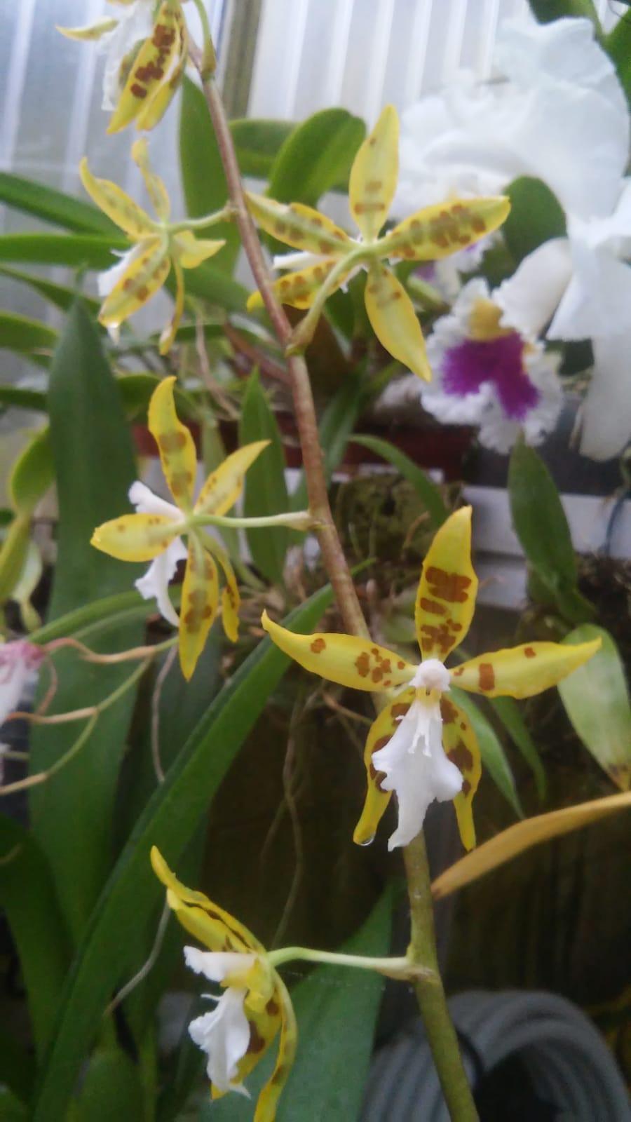 Odontoglossum ariasii Whatsa46