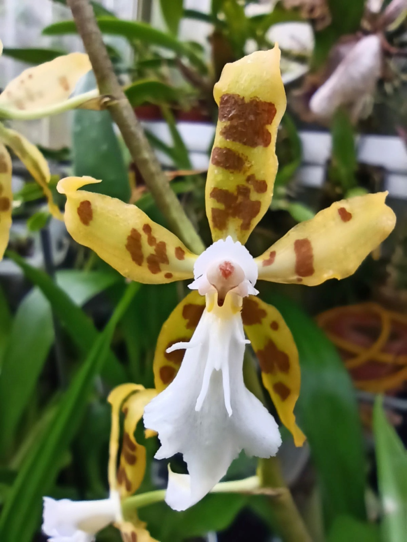 Odontoglossum ariasii Whatsa49