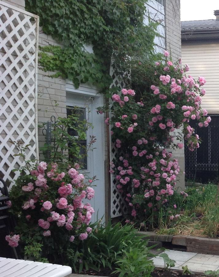 Mon rosier John Davis John-d10