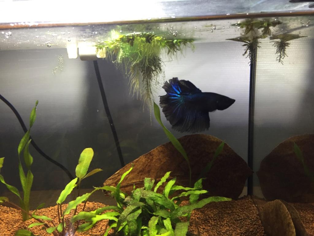 Mâle HM Black Orchid, MrAlti Img_6313