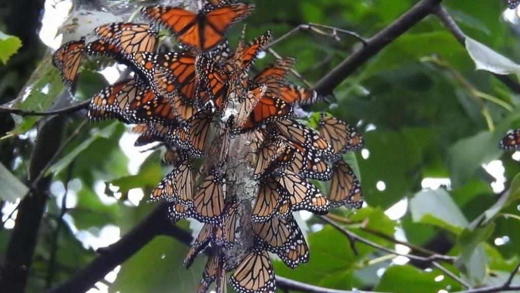 superbes papillons! - Page 2 Dc14