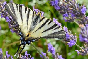 superbes papillons! - Page 2 Dc19