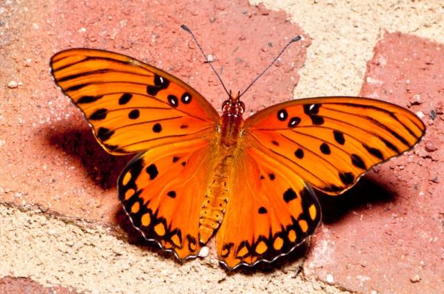 superbes papillons! - Page 2 Dc22