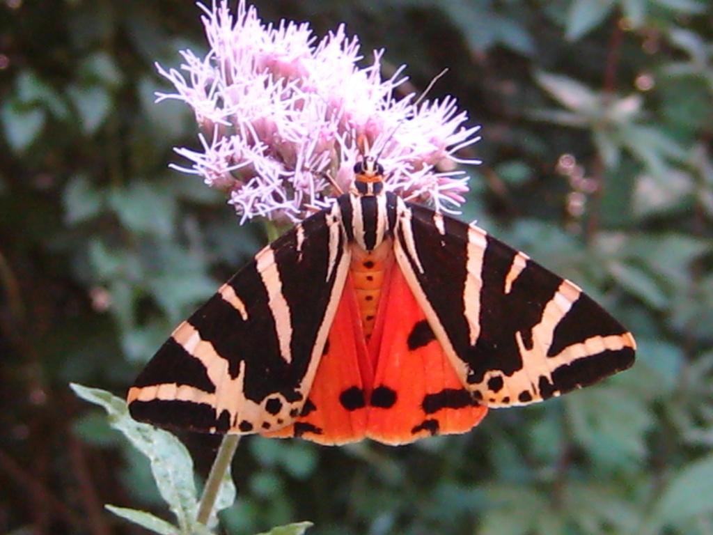 superbes papillons! - Page 3 Dc26