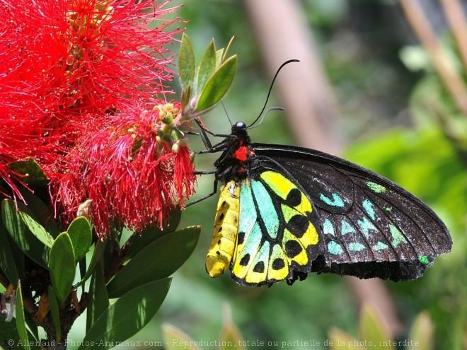 superbes papillons! - Page 3 Dc_pap10