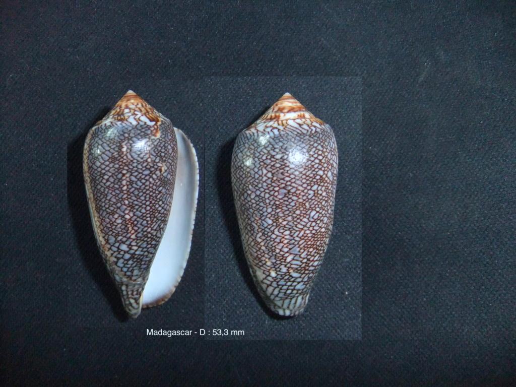 Cylindrus archiepiscopus (Hwass in Bruguière, 1792) Conus_10