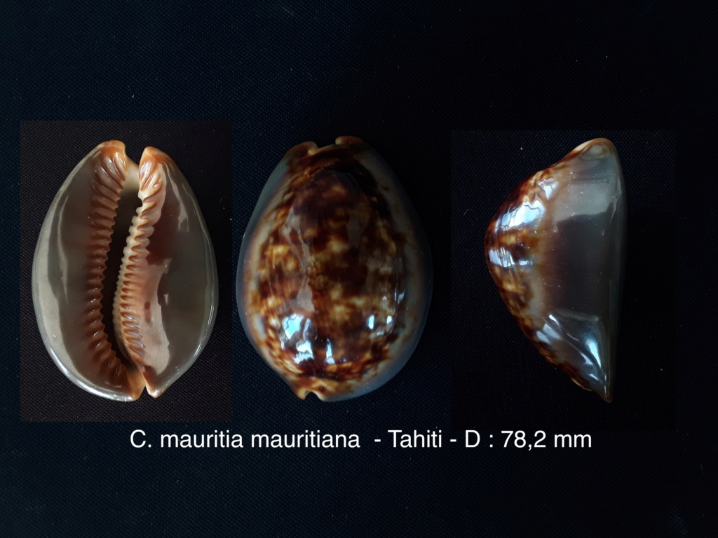 Cypraea mauritiana - de Tahiti -  Maurit10