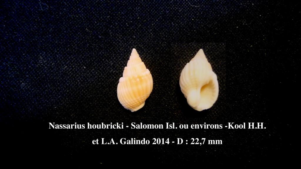 Nassarius castus - (Gould, 1850) Nassar10