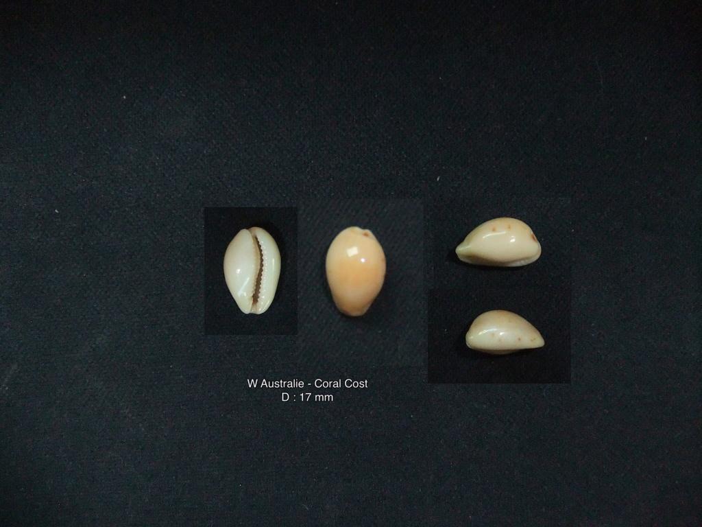 Purpuradusta gracilis macula hilda - (Iredale, 1938)  Noto_110