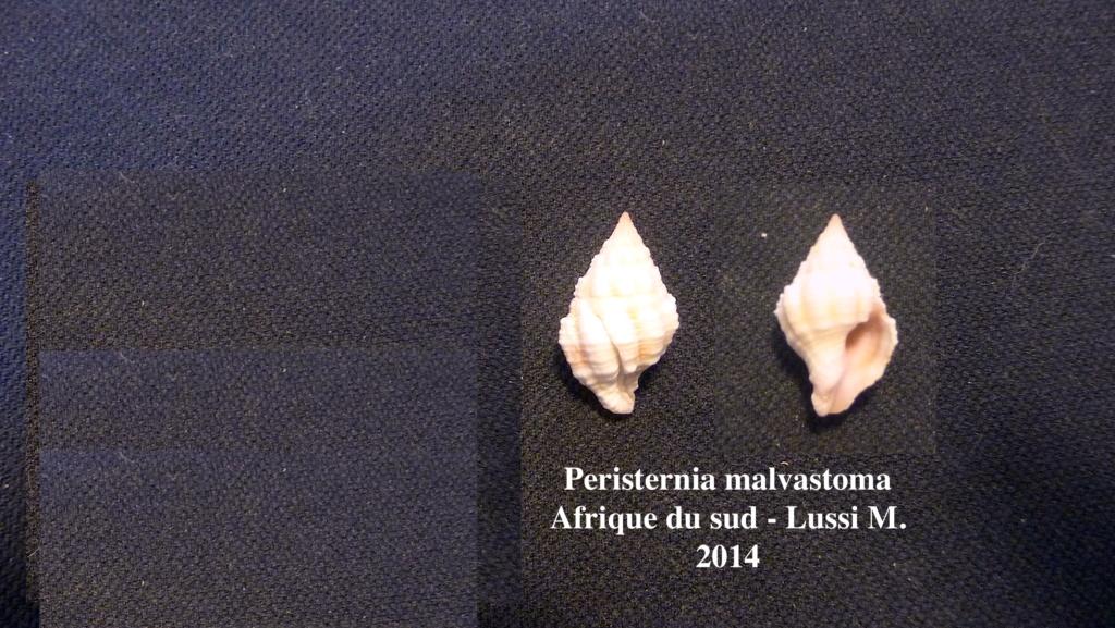 Peristernia malvastoma ? Lussi M. 2014 Perist11