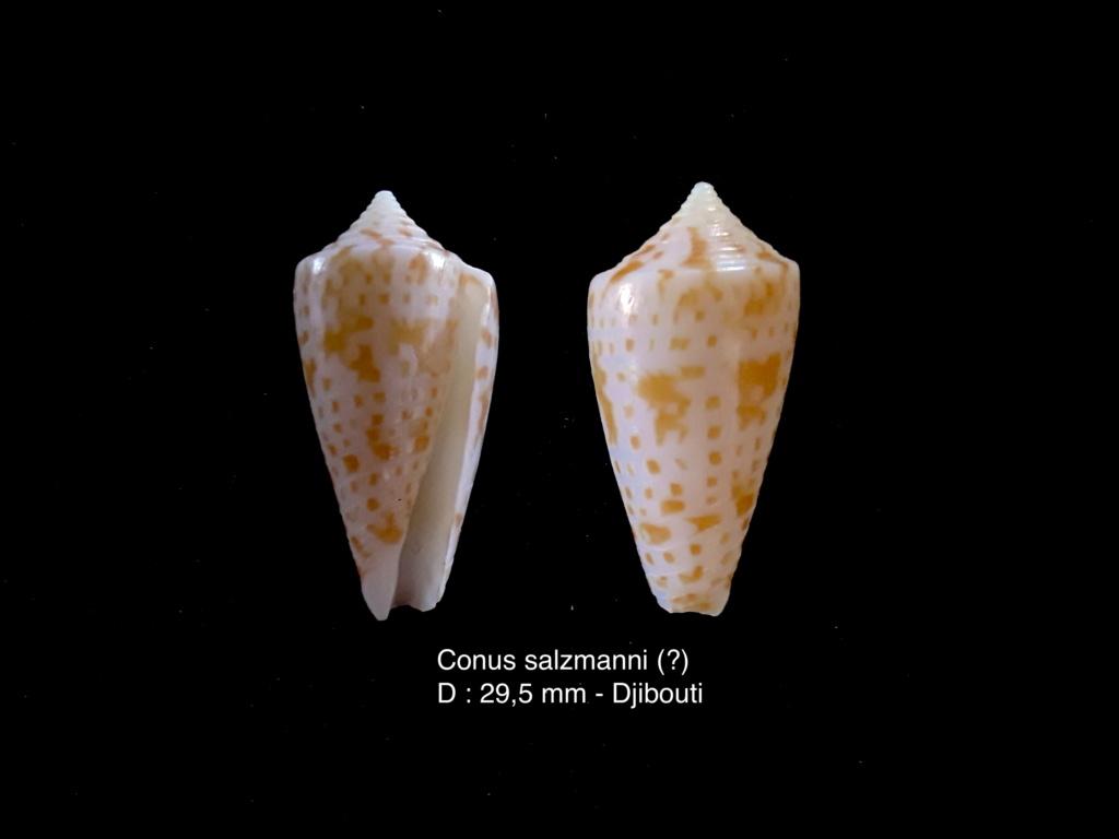 Conus salzmanni (?) Salzma10