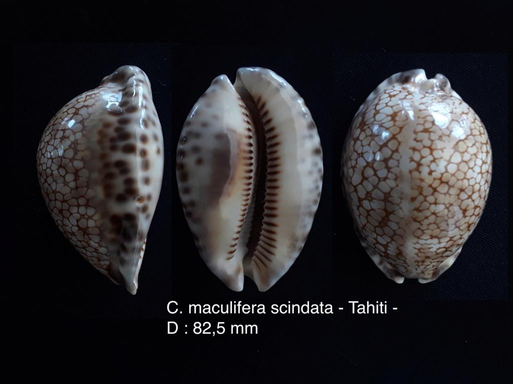 Cypraea maculifera scindata (?) - Tahiti - belle taille.... Scinda12