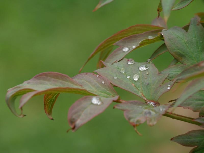 Gouttes de rosée sur des feuilles de pivoine Photo_11