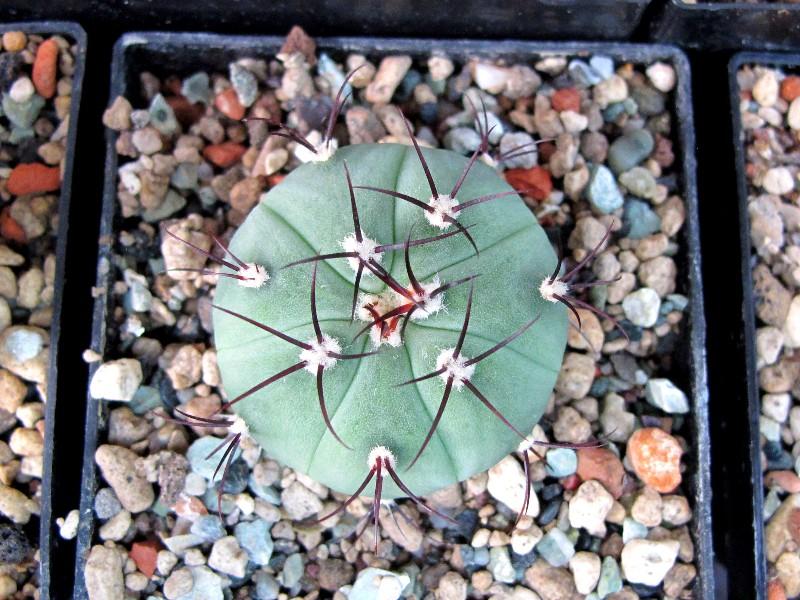 Gymnocalycium cabreraense 800_ca67