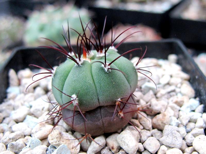 Gymnocalycium cabreraense Cabrae10