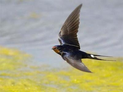 Chim nhạn – Hãy trả lại tên cho ngỗng Chim_e10