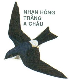Chim nhạn – Hãy trả lại tên cho ngỗng Chim_e13
